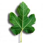fig-leaf-150x150
